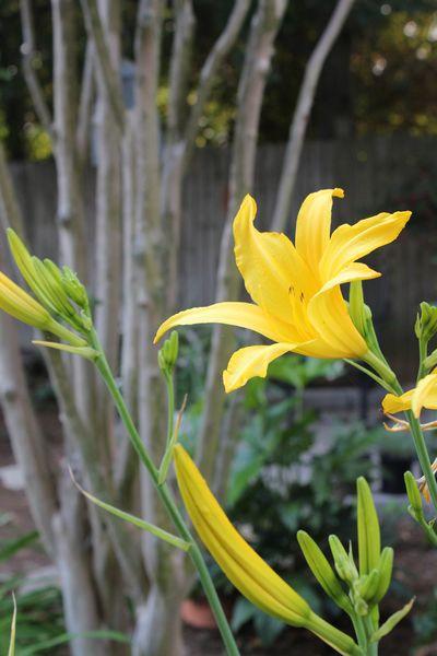 backyard day lilies